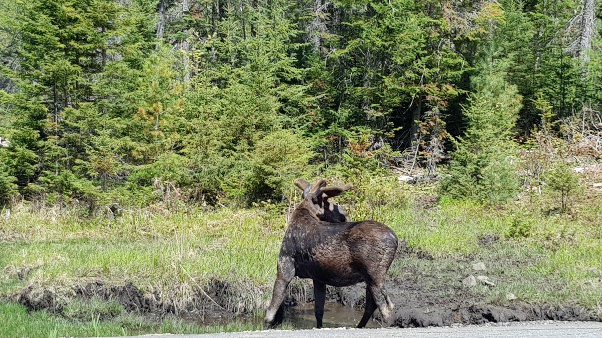 Kanadischer Elch