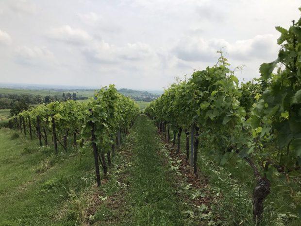 Weinreben deutsche Weinstrasse