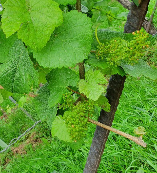 Junge Weintrauben