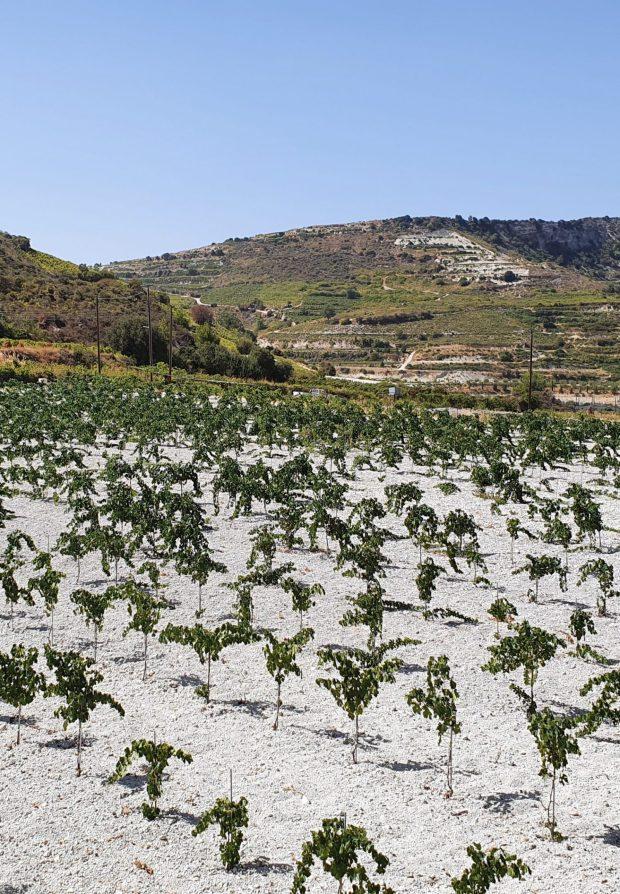 Weinreben Zypern