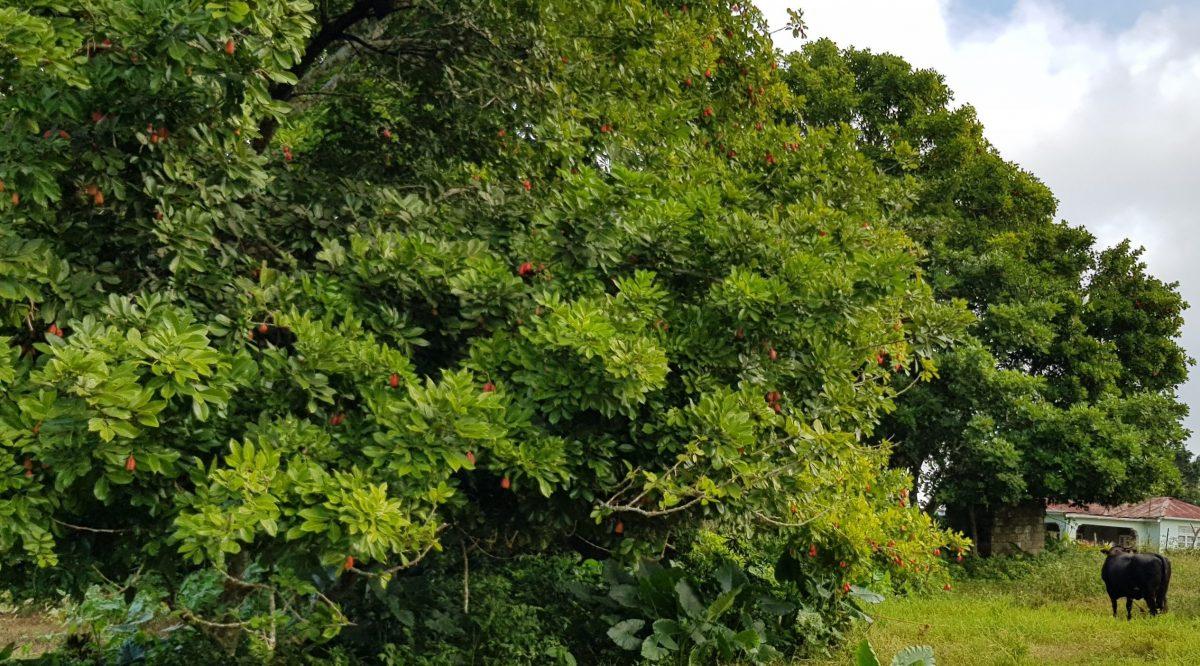 Ackke Frucht